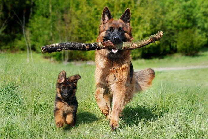 How Long Does A German Shepherd Stay Pregnant