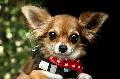 Chihuahua with cute eyes