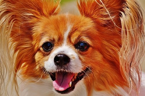 Cute chihuahua with tear stains