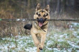 German Shepherd Games For Mind And Body