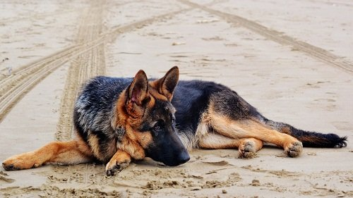 GSD resting with tail on the ground