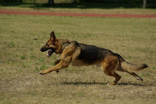 GSD running with straight tail
